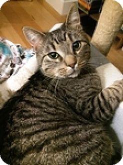 Domestic Shorthair Cat for adoption in Vancouver, British Columbia - Lori