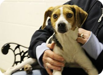 Beagle Mix Dog for adoption in Elyria, Ohio - Flo