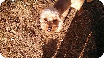 Yorkie, Yorkshire Terrier/Shih Tzu Mix Dog for adoption in Temecula, California - rocky