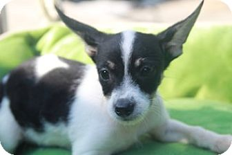 Chihuahua/Terrier (Unknown Type, Small) Mix Puppy for adoption in Allentown, Pennsylvania - Leonardo