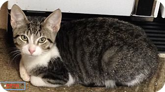 Domestic Shorthair Kitten for adoption in Schertz, Texas - Seth LC