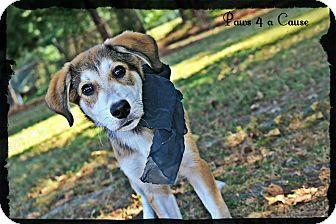 Husky/Labrador Retriever Mix Puppy for adoption in Paducah, Kentucky - Charger