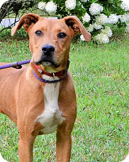 Mountain Cur/Hound (Unknown Type) Mix Dog for adoption in Brattleboro, Vermont - Axel