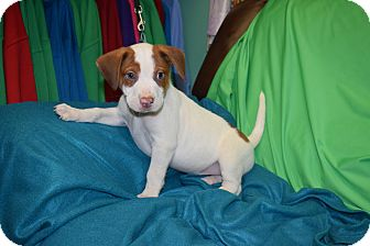 Beagle Mix Puppy for adoption in Evansville, Indiana - Freddy