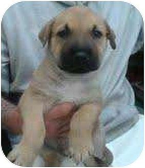 Australian Shepherd/Labrador Retriever Mix Puppy for adoption in Manhattan, New York - Kai
