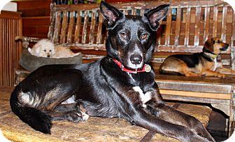 Border Collie/Husky Mix Dog for adoption in Los Angeles, California - Gloria - Family Dog!