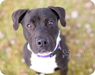 Pit Bull Terrier/Labrador Retriever Mix Dog for adoption in Reisterstown, Maryland - Tommy Tutone