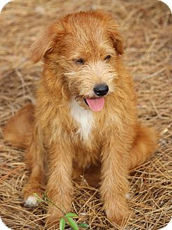 Terrier (Unknown Type, Medium) Mix Puppy for adoption in Pinehurst, North Carolina - Ben-Pending Adoption