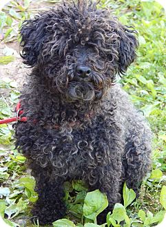 Toy Poodle Dog for adoption in Williamsport, Maryland - Midnight(8 lb) Sweetheart!