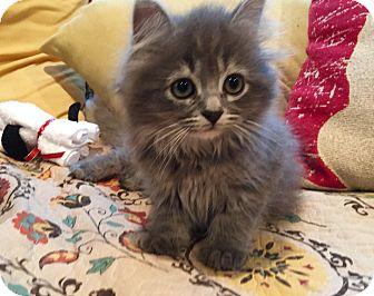 Domestic Longhair Kitten for adoption in Flushing, Michigan - Madonna