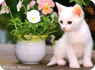 Domestic Shorthair Kitten for adoption in Zanesville, Ohio - Marilyn Monroe