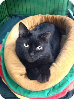 Domestic Shorthair Cat for adoption in Byron Center, Michigan - Magic