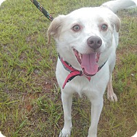 Adopt A Pet :: Abby - Lebanon, CT