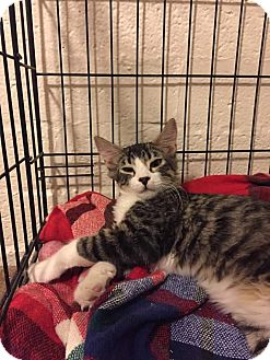 American Shorthair Kitten for adoption in Scottsdale, Arizona - Zumba