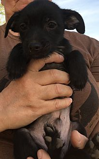 Whippet/Cairn Terrier Mix Puppy for adoption in Gilbert, Arizona - Scotty