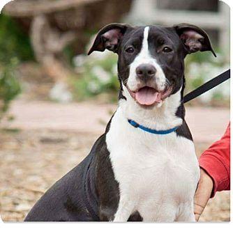 Labrador Retriever/Pit Bull Terrier Mix Puppy for adoption in Fallbrook, California - Edo