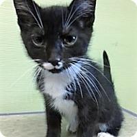 Adopt A Pet :: Boots - Medina, OH