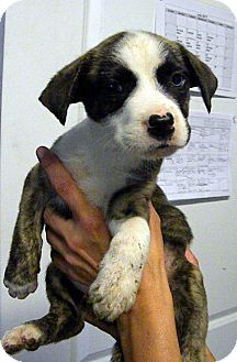 Pit Bull Terrier/Siberian Husky Mix Puppy for adoption in Loogootee, Indiana - Annie