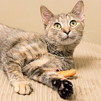 Domestic Shorthair Cat for adoption in Chicago, Illinois - Dolce