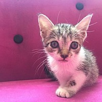Domestic Shorthair Kitten for adoption in Fort Lauderdale, Florida - Mami