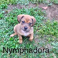 Adopt A Pet :: Nymphadora - ST LOUIS, MO