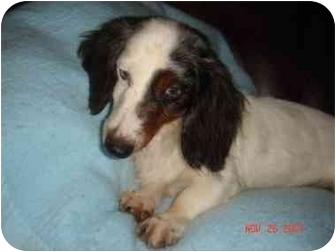 Dachshund Dog for adoption in Foster, Rhode Island - Jelly Bean