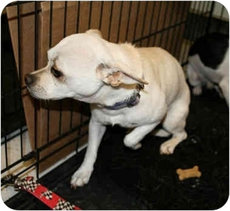 Chihuahua Mix Dog for adoption in tucson, Arizona - Blossom