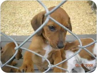 Labrador Retriever Mix Puppy for adoption in Westport, Connecticut - Willow
