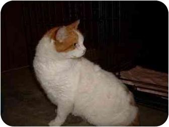 Domestic Shorthair Cat for adoption in Brighton, Michigan - Stray Cat