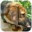 Photo 3 - Beagle Dog for adoption in Waldorf, Maryland - Brewster