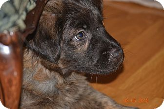Shepherd (Unknown Type) Mix Puppy for adoption in Sacramento, California - Ace