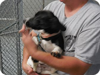 Beagle Mix Puppy for adoption in MARION, Virginia - Snoopy