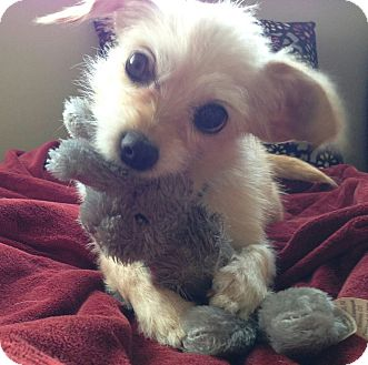 """Norfolk Terrier/Terrier (Unknown Type, Small) Mix Dog for adoption in Seattle, Washington - """"Lily"""""""