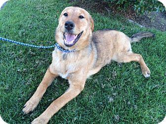 Labrador Retriever/German Shepherd Dog Mix Dog for adoption in Long Beach, California - NALA