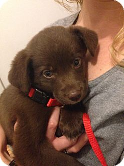 Labrador Retriever/Border Collie Mix Puppy for adoption in West Milford, New Jersey - BAILEY-pending