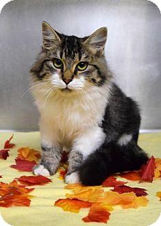 Domestic Mediumhair Cat for adoption in Dublin, California - Pinocchio