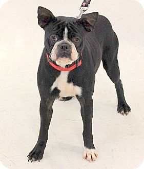 Boston Terrier Dog for adoption in Concord, North Carolina - Lucy