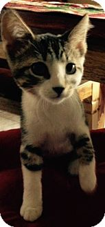 Domestic Shorthair Kitten for adoption in Rocklin, California - Saffron
