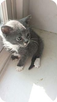 Domestic Mediumhair Kitten for adoption in Media, Pennsylvania - Baby Bear