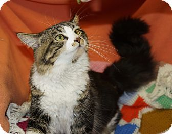 Maine Coon Cat for adoption in Berlin, Connecticut - Morty-ADOPTED