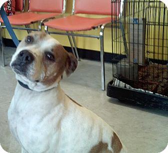 Pit Bull Terrier Mix Dog for adoption in Knoxville, Iowa - Chloe