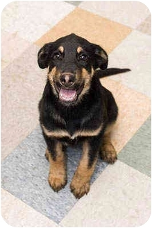 German Shepherd Dog/Rottweiler Mix Puppy for adoption in Portland, Oregon - Chico