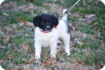 Golden Retriever/Labrador Retriever Mix Puppy for adoption in Bedminster, New Jersey - Veronica