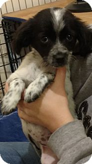 Chihuahua/Terrier (Unknown Type, Small) Mix Puppy for adoption in San Diego, California - Oreo
