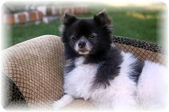 Pomeranian Dog for adoption in Dallas, Texas - Bear (FTW)