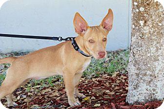 Chihuahua/Corgi Mix Puppy for adoption in Saint Augustine, Florida - Pancake