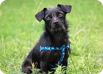 Terrier (Unknown Type, Small) Mix Dog for adoption in Austin, Texas - Bruno Mars