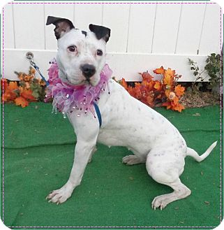 Pit Bull Terrier/American Pit Bull Terrier Mix Dog for adoption in Marietta, Georgia - RILEY