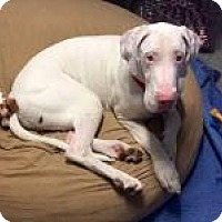 Adopt A Pet :: Vinnie - Indianapolis, IN