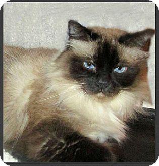 Ragdoll Cat for adoption in Gilbert, Arizona - Sophie - Cleopatra